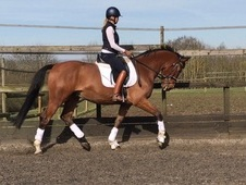 16. 2 bay gelding by Dutch Design