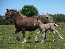Smart quality welsh cob section d broodmares - running with licen...