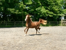 Gorgeous 3 year old Arab gelding for sale to 5 star home