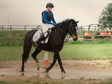 15hh Allrounder - Fully Registered Connemara