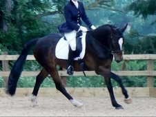 stunning and talented 16h gelding Dressage/ allrounder
