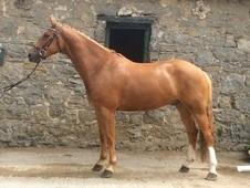 Talented Irish gelding