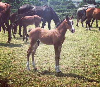 Looking for your next top showjumping pony!!!! Flashy Bay Pony Colt