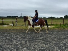 Share/Loan For The Lovely Texas, 15. 2hh 6y/o Due To Alevels