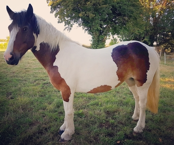 14.3hh 7 year old mare