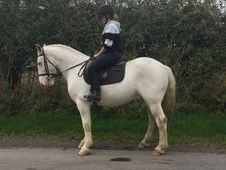 Handsome chunky Cremello gelding