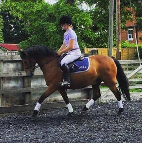 14 hh registered New Forest gelding