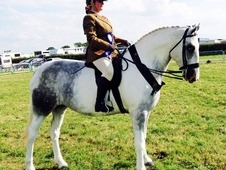 Blue and white established Show Horse