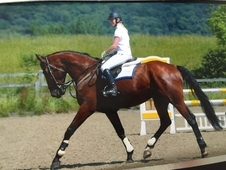 Handsome dressage/ allrounder