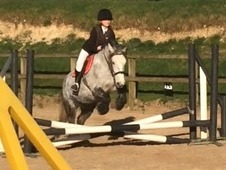 13. 2hh pretty dapple grey 8yo Irish mare