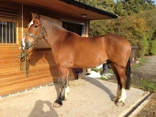 16. 3hh 6yo Bay Irish Gelding