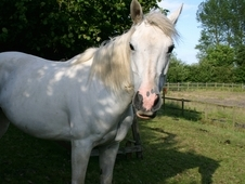 15. 2 hh Anglo arab