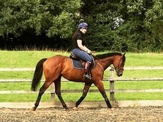 Beautiful 16.1, 3yo Tb Gelding.