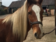 Wallace 14.2 Heavy weight pony 6yrs