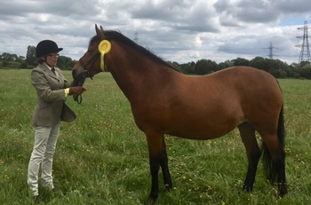 13.3 registered New Forest mare