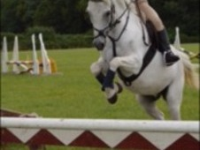 12. 2hh competition pony for sale