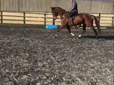 Kayf Tara (Sadlers Wells) Ex racehorse / Potential eventer. 16.1hh 6yr old bay mare