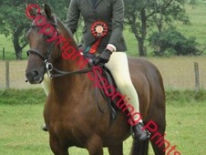 PENYFYNON SERENADER Welsh part bred mare