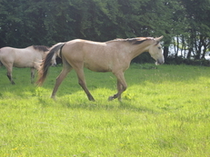 Czech Warmblood Dun Gelding 16hh
