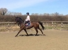 Quality Dutch mare to jump or event to top level