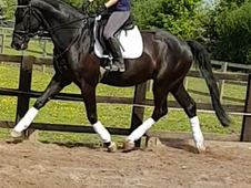 Stunning 17. 1 6yrs Belgium warmblood dressage potential