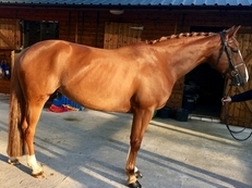 Talented Young Mare For Sale