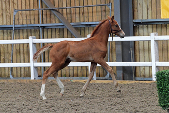 Exiting prospect for the future.  2018 striking chestnut colt foal.