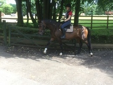 lovely 5 year old bay mare, 15. 1hh