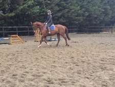 Handsome 16. 1 bay gelding