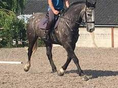 16.2HH Quality SHow / Hunt / All round safe lad