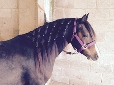 13.2hh Welsh C dark bay mare 9yr old