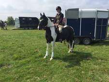 Welsh part bred black tobiano 5yr old home bred mare 14. 2hh approx