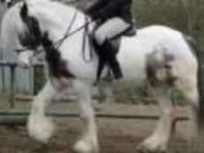 BOLTON AREA TO STAY ON CURRENT YARD BEAUTIFUL COLOURED 15.2 COB GELDING