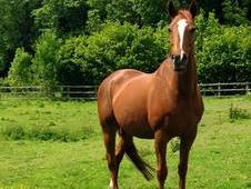 Beautiful chestnut tb mare