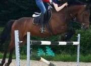 Schoolmaster/Riding Club Grade A consistent 15yr Old 16.2hh