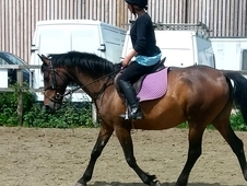 Genuine 15. 1hh Bay Mare