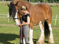 Gorgeous Gentle Giant - Family Horse - Happy Hacker