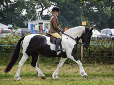 Stunning Allrounder 6year old 15hands Mare For Sale