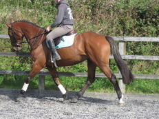 SUPERB HUNTER/EVENTER/RIDING CLUB HORSE