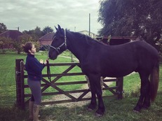 George, Percheron Gelding For Sale