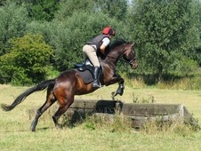 Stunning 16. 2HH Sports Horse