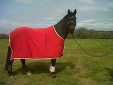 Gorgeous ex competition horse for sale
