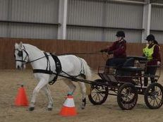 Ride and drive 14.2hh grey mare