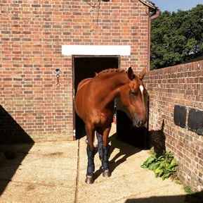 16.1hh Chestnut Mare for share - West Sussex