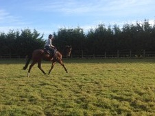 Real Event prospect, ROR 2017 classy looking 16. 3hh gelding supe...