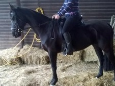 Beautiful Black Warmblood mare by Donnershon