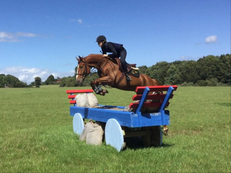 16hh 7 year old Chestnut gelding by Andiamo (Animo)