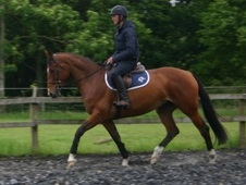 Stunning 16. 1 h Bay 7 year old mare