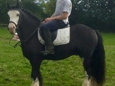 Adorable Irish Cob Gelding, Dorset