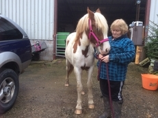 2 year old skewbald cob filly for sale
